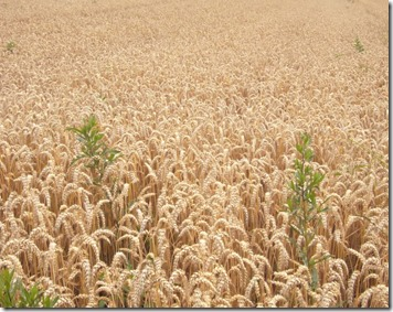 wheatandweeds